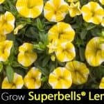 How To Grow Calibrachoa Superbells® Lemon Slice