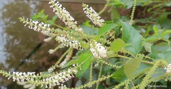 blooming Sweet Almond Verbena
