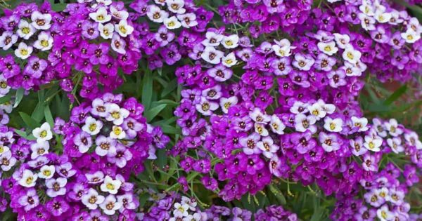 beautiful sweet alyssum blooms in purple