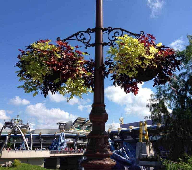 sweet potato vine grown as baskets at Disney World Oct 2016