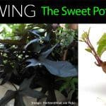 How To Care For Ornamental Sweet Potato Vine