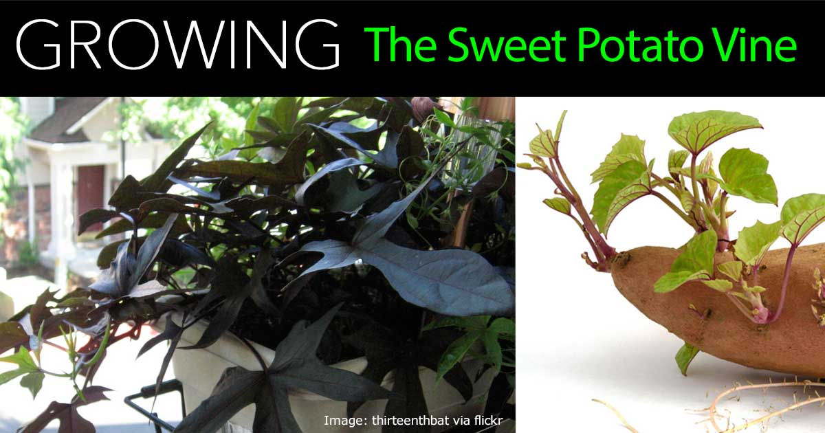 sweet-potato-vine-07312016