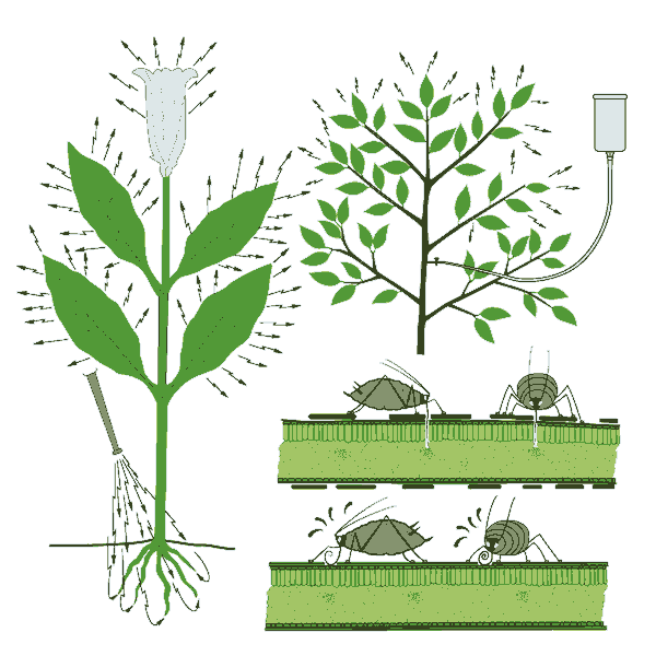 graphic of systemic insecticides being applied to roots or injected and insects feeding