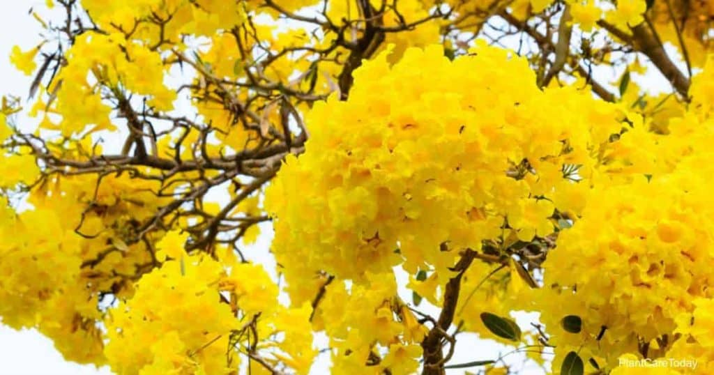 yellow trumpet tree blooms of the Tabebuia Tree