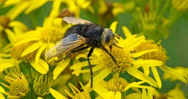 tachinid fly up close