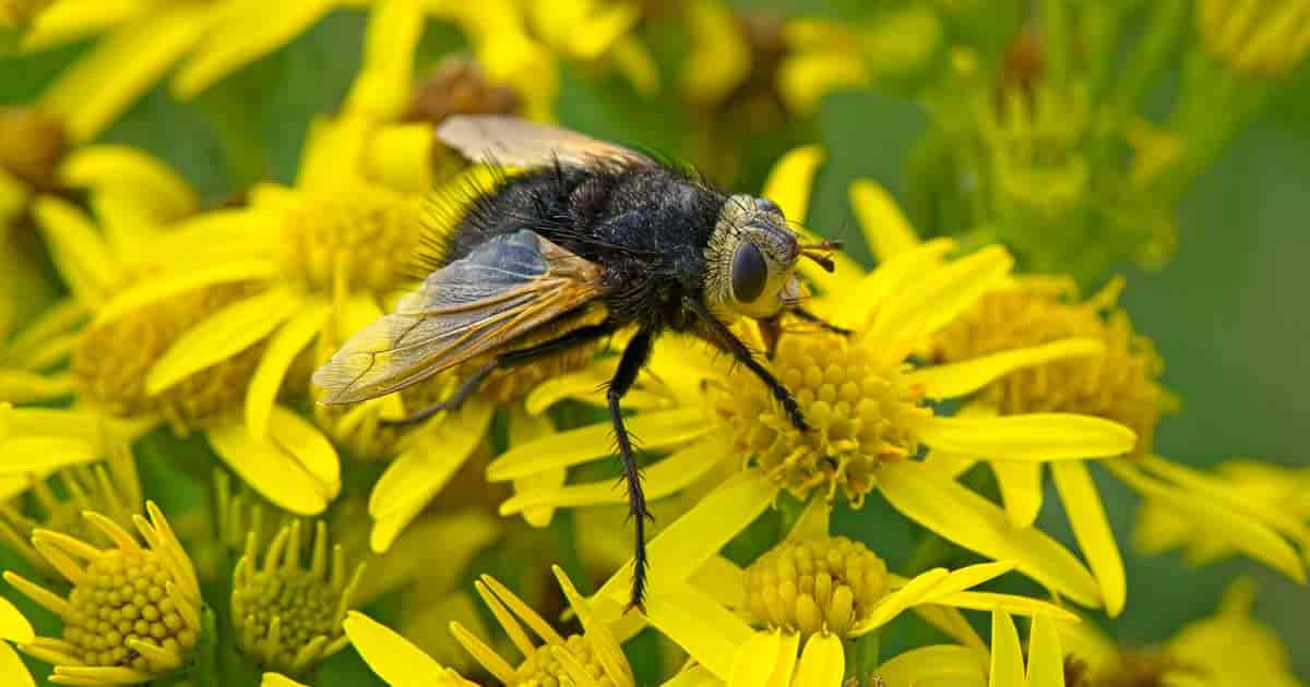 Adult Tachinid fly visiting a Dandelion