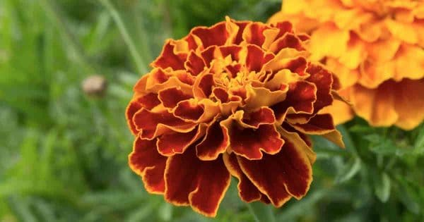 Blooming French Marigold (Tagetes patula)