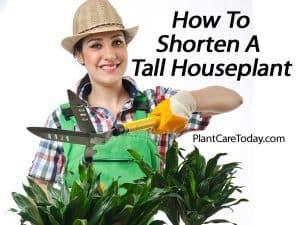 shorten tall houseplants