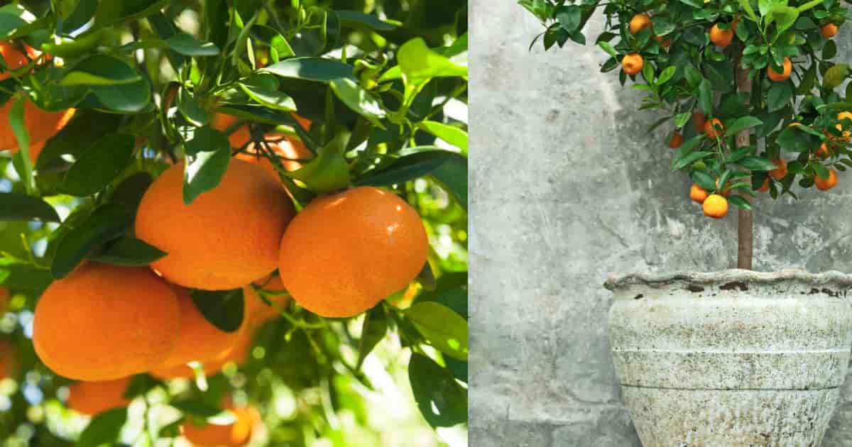 Tangerine tree fruit along with a potted variety