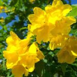 Bright yellow flowers of Tecoma Stans Secondary Kw: Yellow Bells