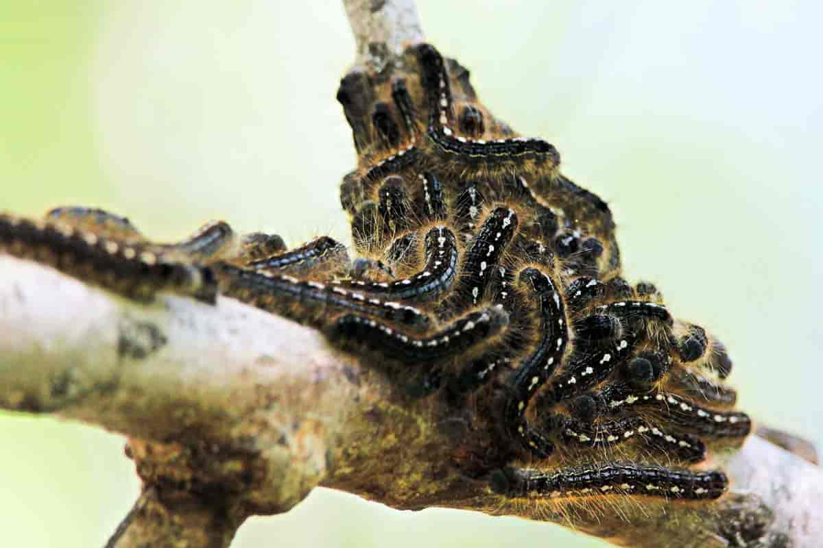 Colony of Forest Tent Caterpillar on tree limb