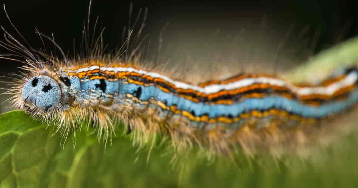 colorful species of tent caterpillar