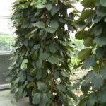 Tetrastigma Voinierianum: Growing And Care Of The Chestnut Vine