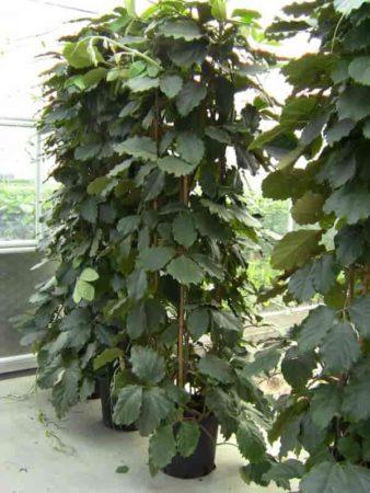 Potted Tetrastigma voinierianum - Chestnut Vine growing up a trellis