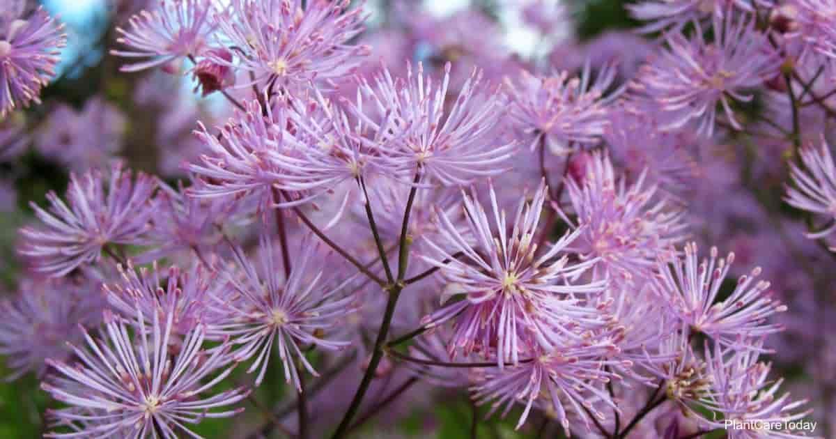 Attractive blloms of the Meadow Rue - Thalictrum Aquilegifolium