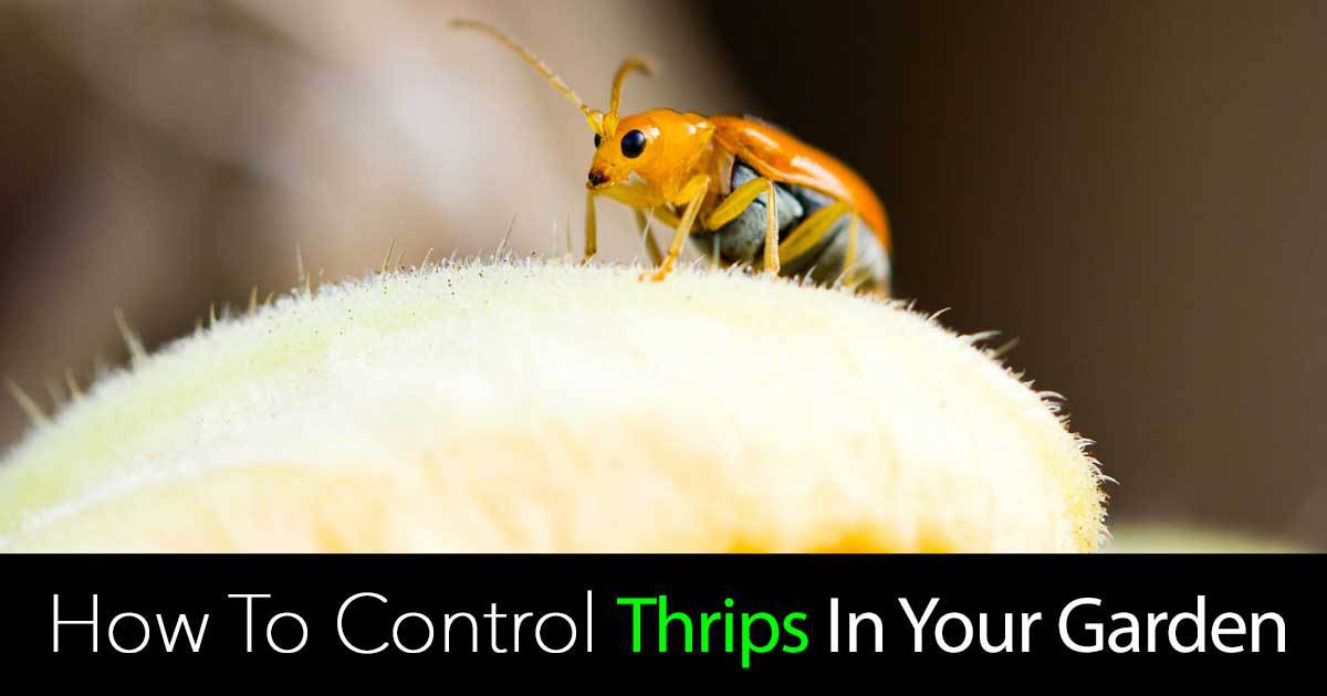 thrips control in the garden