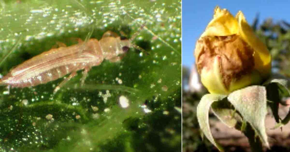 Thrips damage on roses In the garden