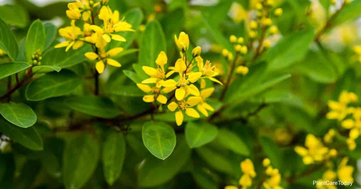 Blooming Thryallis (Galphimia Glauca)