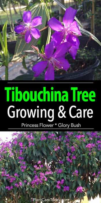 Flowers of the Tibouchina tree