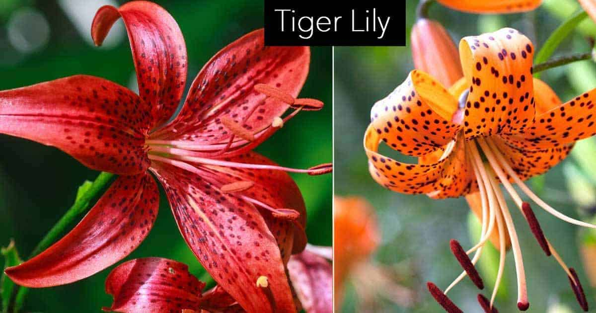 Red and Orange blooms or the Tiger Lily