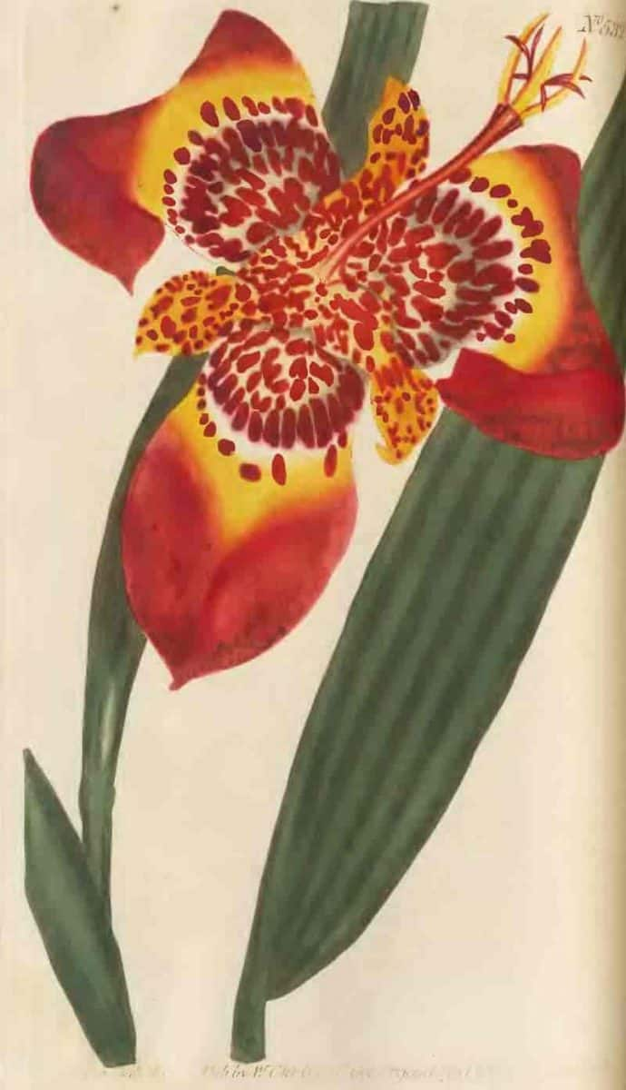 Tigridia: growing and caring for the flowers of the Aztecs