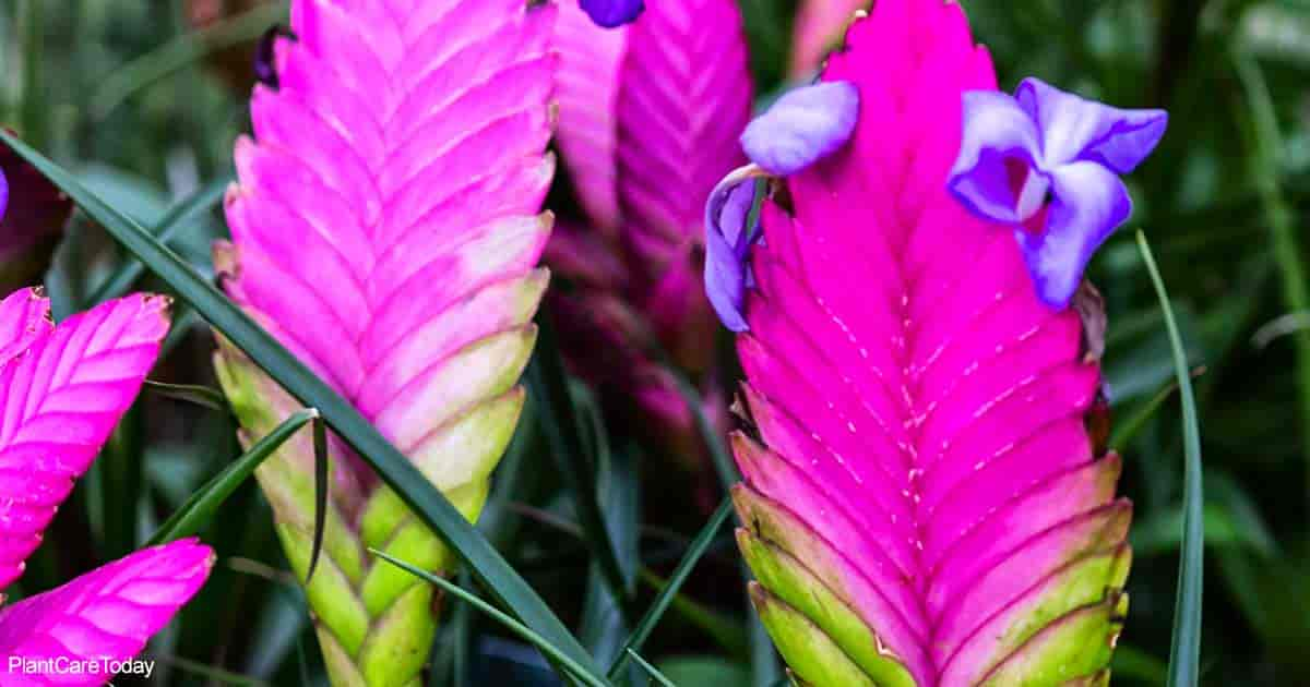 bloom of the Tillandsia Cyanea aka Pink Quill