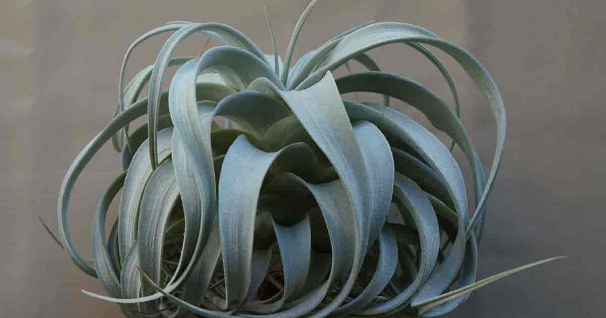 King of Air Plants - Tillandsia xerographica