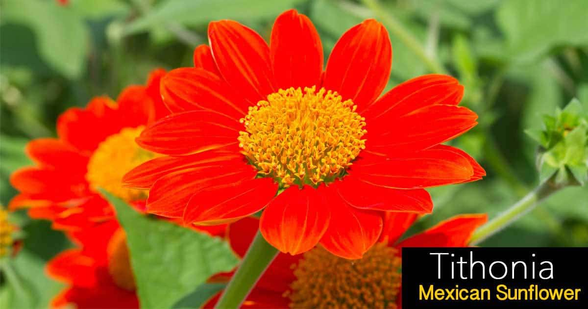 tithonia-mexican-sunflower-07312016