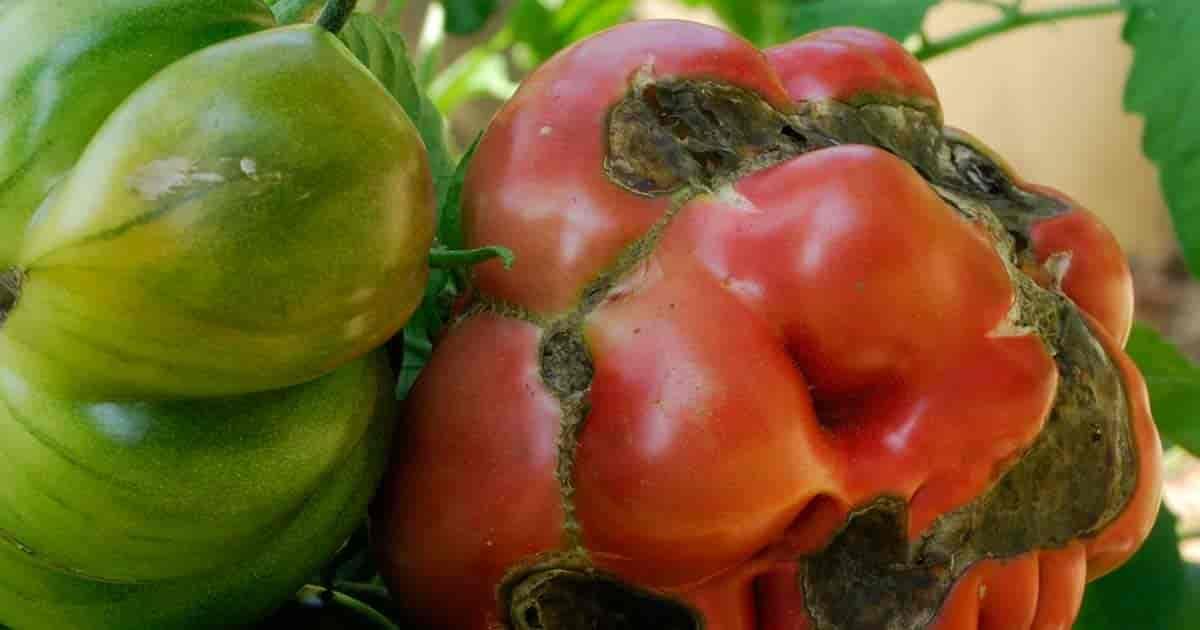 Tomato disease - Alternaria solani
