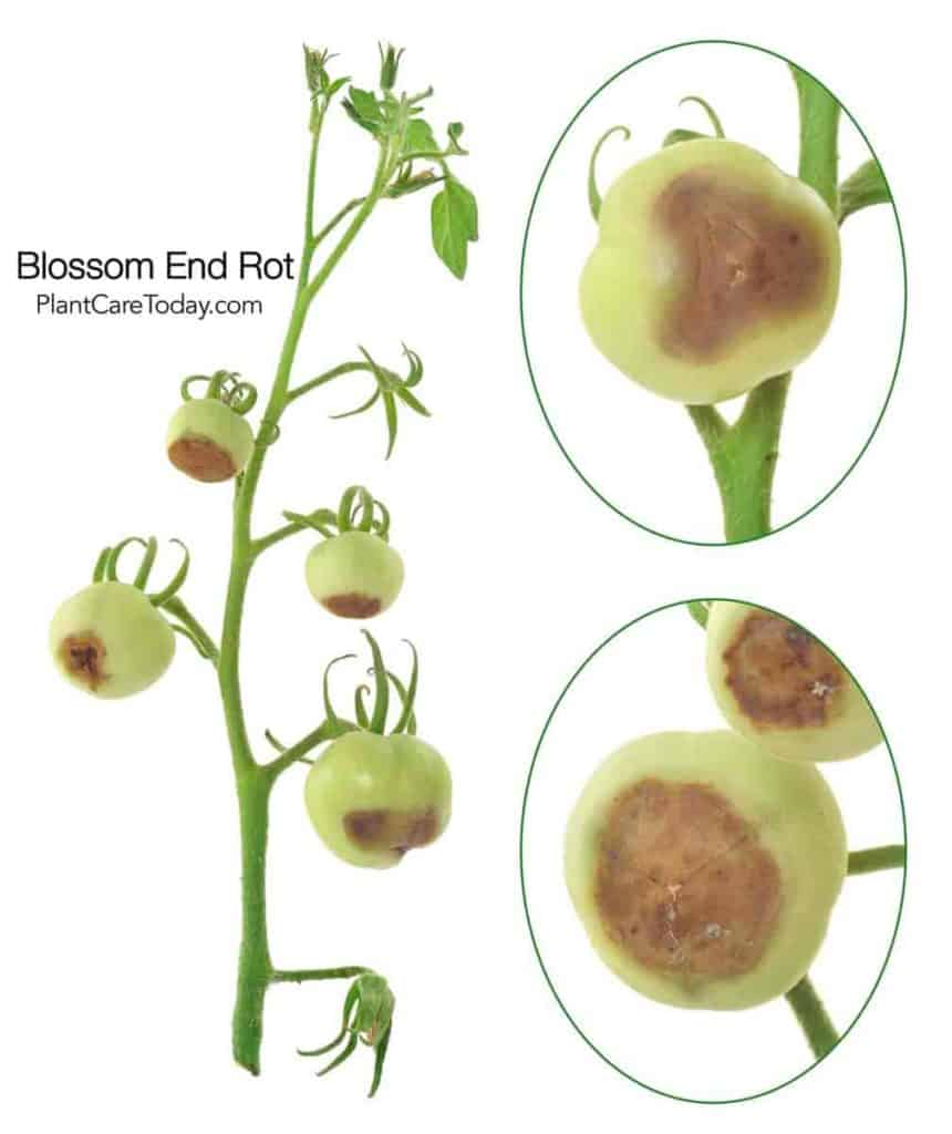 tomato showing signs of blossom rot