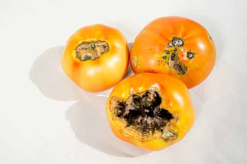 A Black Spot On The Bottom Of An Otherwise Plump Healthy Tomato Even If You Cut Off This Bad Will Find Flesh Fruit Is Mealy And