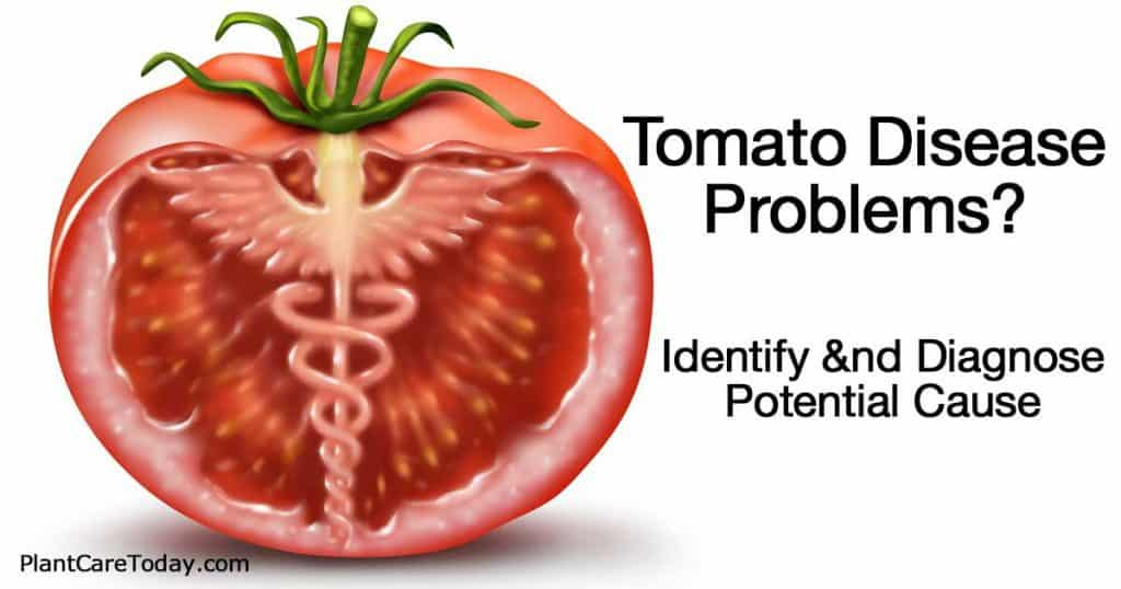 tomato diseases essay Free essay: the columbian exchange is the exchange of plants, animals, food, and diseases between europe and the americas in 1492, when christopher columbus.