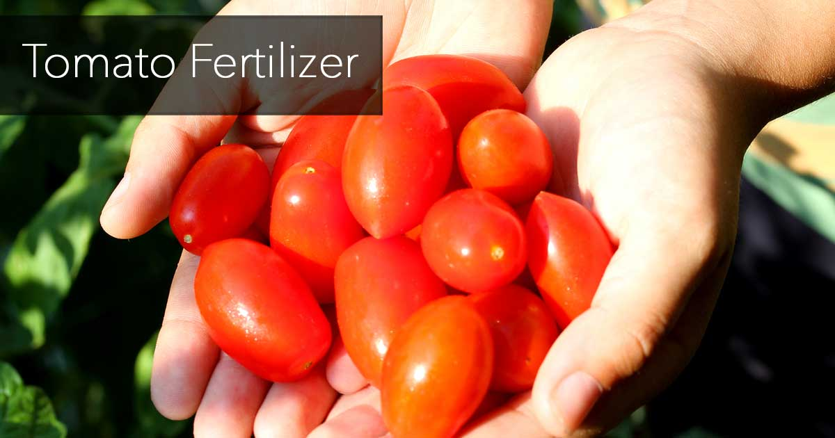 tomato fertilizer