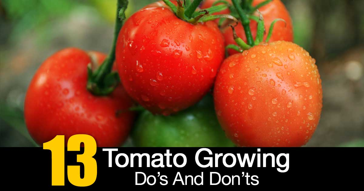 tomato-growing-do-dont-01312016