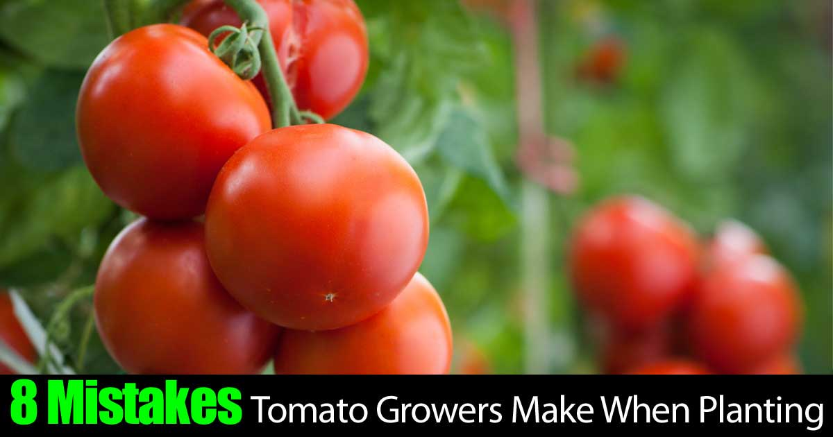 8 mistakes growers make that cause tomato plant problems