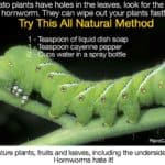 How To Get Rid Of Tomato Worms [10 WAYS]