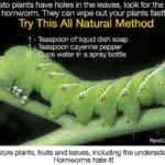 10 Ways To Get Rid Of Large Tomato Hornworm Caterpillars