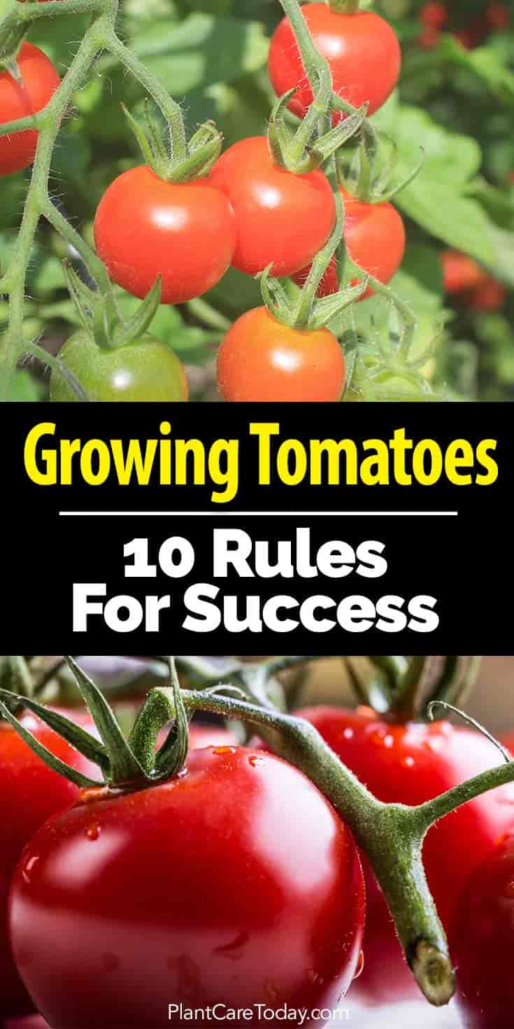 How to care for tomatoes