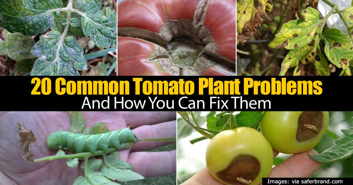 20 Common Tomato Plant Problems How You Can Fix Them