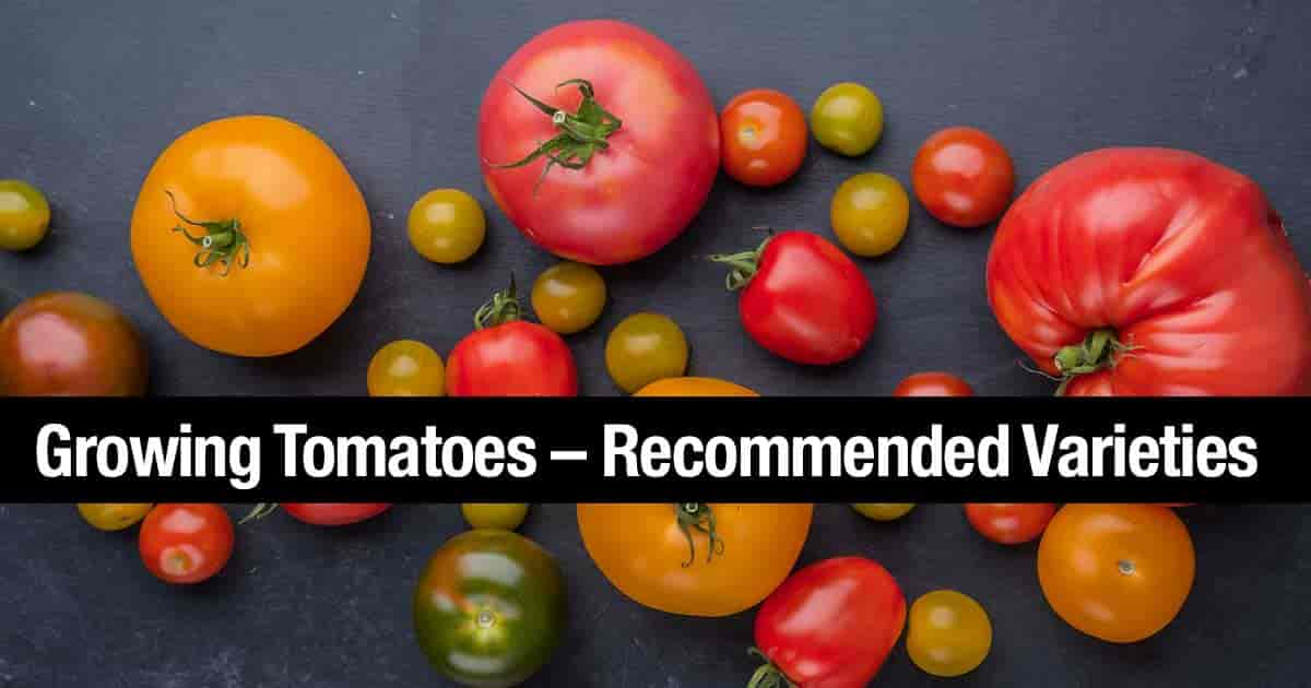 12 Steps To High Yield Tomatoes - 50-80 lbs per Plant