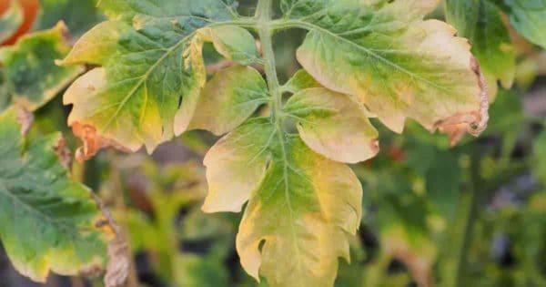 tomato plant leaves turning yellow