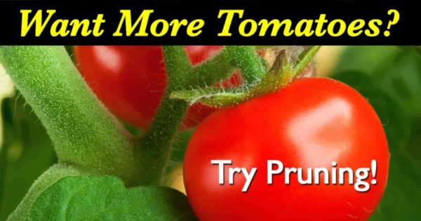image recommending pruning for more tomatoes