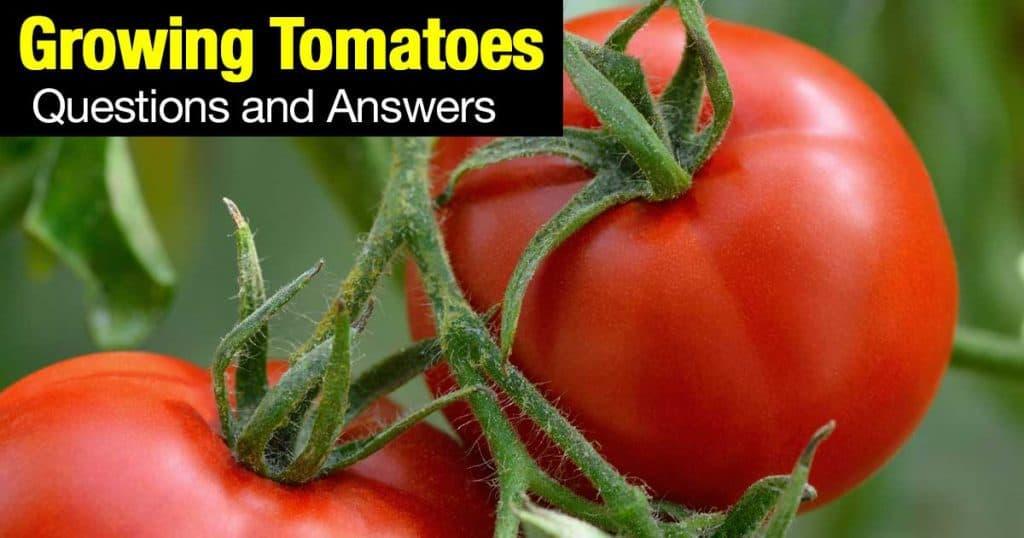 tomatoes-q-a-02292016