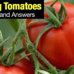 Tomato Care Growing Questions and Answers