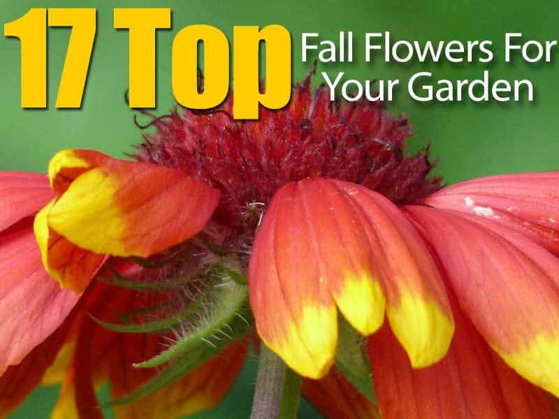 17 top fall flowers for your garden for Popular fall flowers