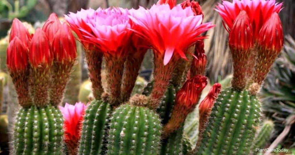 blooms of the Torch Cactus – Trichocereus Grandiflora