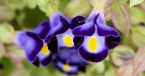 purple Torenia flowers upclose