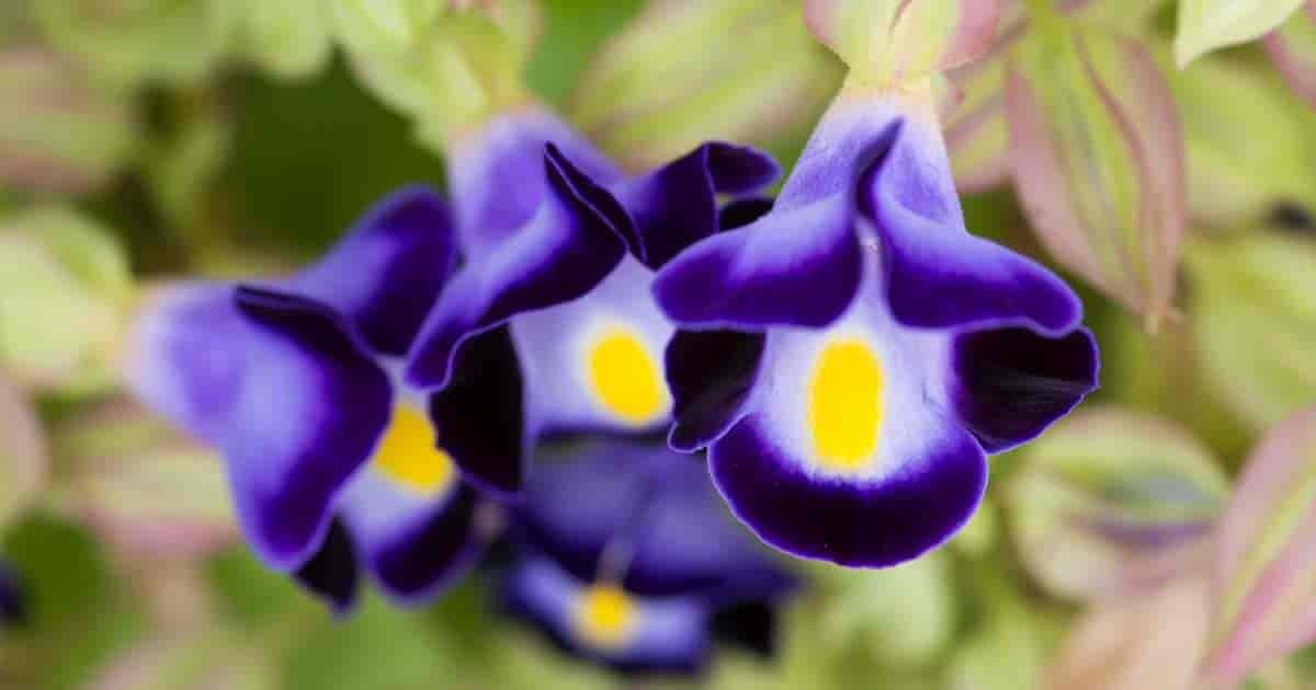 purple wishbone flowers up close