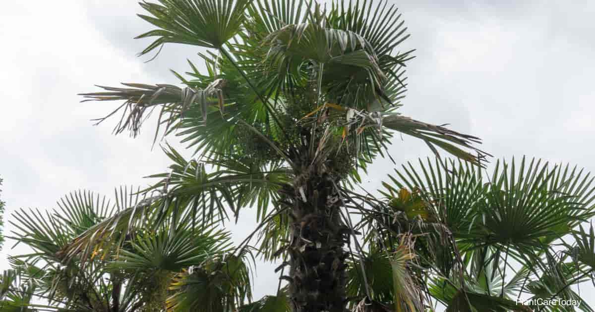 Windmill Palm - Trachycarpus Fortunei
