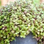 Bolivian Wandering Jew Care: Learn How To Grow Callisia Repens